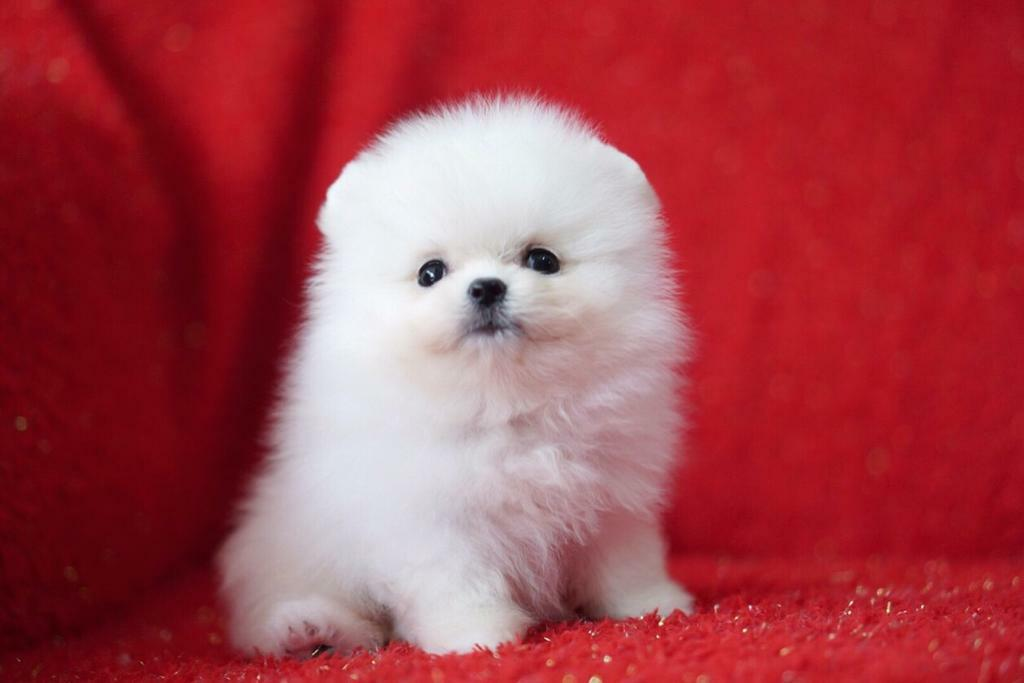 Pure White Pomeranian Teddy bear Teacup Puppies | in ...