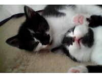 kittens x2 black and white girls