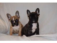 TOP QUALITY AT/BLUE CARRIER BRINDLE FRENCH BULLDOG FEMALE AVAILABLE