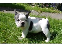 KC Reg french bulldogs 1 Black boy and 1 blue & white girl 10 weeks old READY NOW!