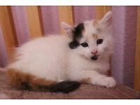 Female kitten multi coloured white ginger black fluffy kittens cat cats bromley london lewisham