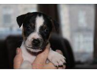 jack russell x plummer terrier puppys