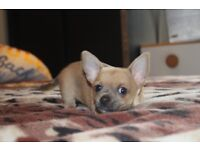 2 boys chihuahua puppies ready to leave