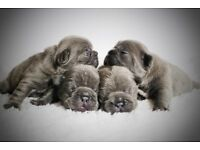 Stunning KC registered Blue and Blue fawn French Bulldog puppies