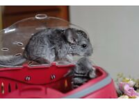 young male chinchillas for sale