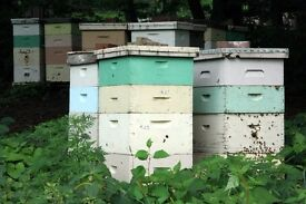 Beekeeping-Bee hives.Over wintered Bee hives Ready for supering.