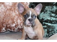 Beautiful Fawn French Bulldog Male Puppy 14 weeks old
