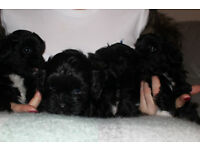 Shihpoo Puppies