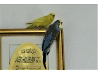 Two lovely beautiful Budgies Blue and Yellow (Male and female) with cage