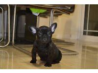 French Bulldog Girl ***reduced***