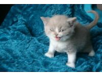 stunning litter of British Shorthair kittens GCCF registered