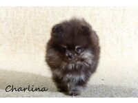 Genuine Pomeranian Puppies with outstanding pedigree