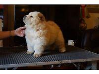 kc reg chow chow puppies