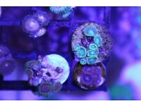 Marine coral- zoa and paly frags