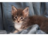 Cute Maine coon kitten for forever home