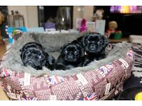 Pugalier Puppies 1 Boy and 6 Girls