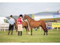 Stunning 13hh Sec B pony