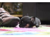 Black and Tan Pet Chihuhauha to good home