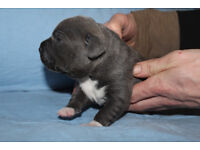 KC Reg Blue Staffordshire Bull Terrier Puppies