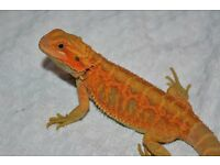 Bearded Dragons - Red Leatherback & Citrus Hypo Translucent Tiger Beardies
