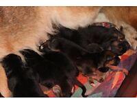 German Shepeard puppie for sale