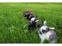 5 gorgeous purebred baby mini lop rabbits