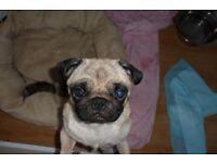 kc reg pug puppy's