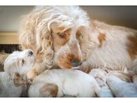 Orange Roan Cocker Spaniel Puppies KC Registered