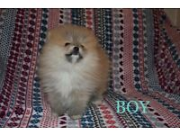 KC Registered Pomeranian Puppies Fully Vaccinated