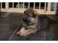 German Shepherd female puppies for sale