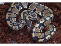 Classic Royal Python (Pos Het Pied)