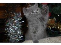 Kittens for reservation