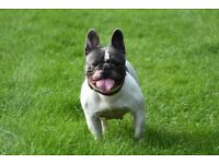 Blue Pied French Bulldog 3 Years Old