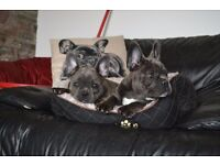 BLUE FRENCHIE GIRLS - READY NOW- DEL AVAILABLE