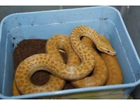 Various Adult African House Snakes (Striped, albino, anery, snow)