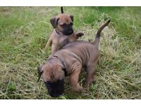 Become the last forever home to a beautiful female ridgeback pup