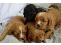 Cavapoo Teddy Bear Puppies