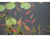 Goldfish need new forever homes
