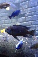 Large male bumblebee cichlid