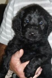 Teddy bear labradoodle puppies