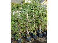 3- 8ft conifers