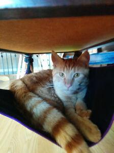 Lost Orange Cat