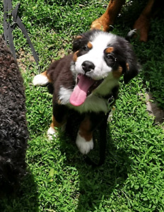 The Bernese Mountain Dog | Adopt Dogs & Puppies Locally in Toronto