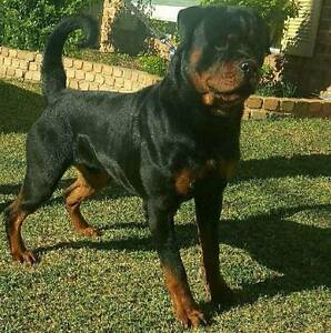 Pedigree Rottweiler Puppies Quakers Hill Blacktown Area Preview