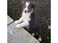 6 Collie Pups for sale