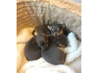 Chihuahua pups blue £500
