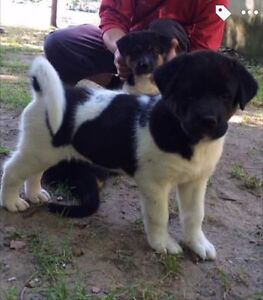 Two beautiful large breed puppies for sale