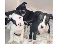XL American bully pups for sale