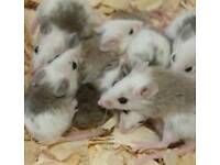 Baby African Soft Fur Rats/Multimammates