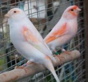 Mosaic canary for sale